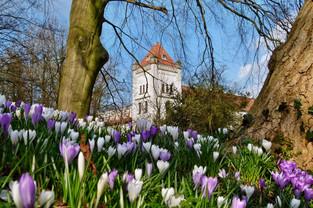 Krokusse vor dem Auricher Schloss