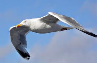 Möwe im Flug über Norderney